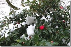 雪の中、ひっそり咲く椿