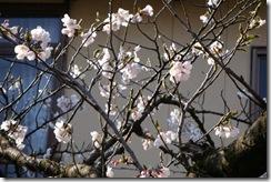 高瀬の公園の桜