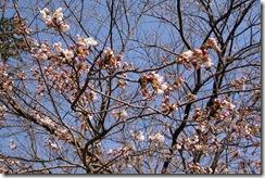 高瀬の桜堤(枝先)