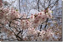 高瀬の桜堤(枝拡大)