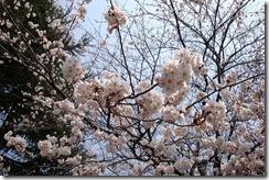 高瀬の桜堤(アップ)