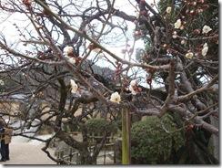 大宰府天満宮の庭に咲く梅の花