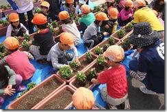 一生懸命お花を植える園児達